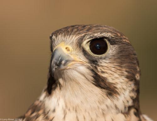 Hawks Aloft Inc